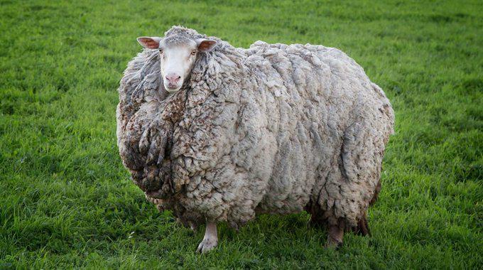 Çiftlikten kaçan koyun 7 yıl sonra geri döndü: Sosyal izolasyondaydı
